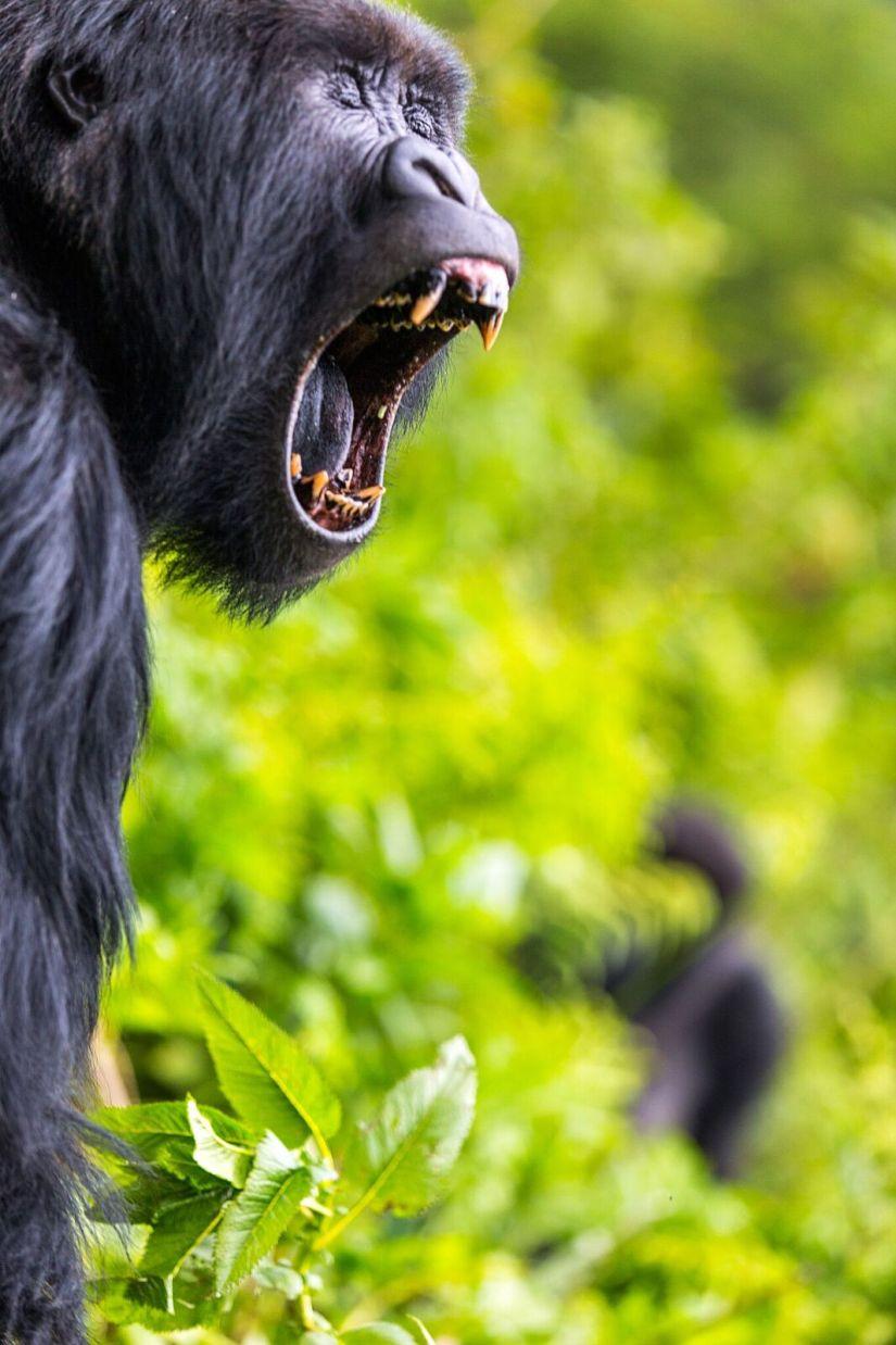 Gorilla close