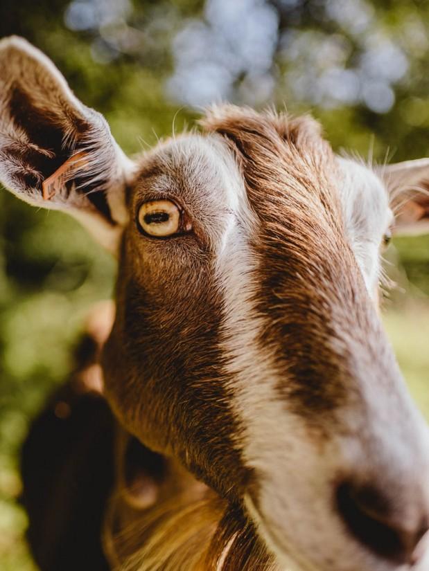 Brithdir Mawr Eco Community Goat-1