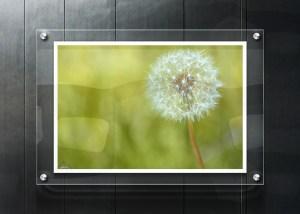 dandelion seeding glass frame
