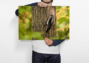 Man holding hairy woodpecker wallart