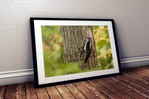 hairy woodpecker framed photo by BritHikesOntario