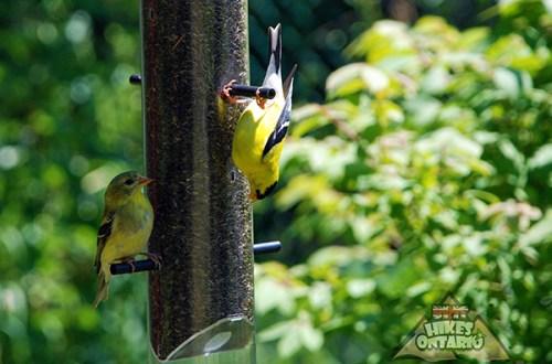 Goldfinch Feeder - BritHikesOntario