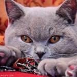 Charakter der Britisch Kurzhaar Katze