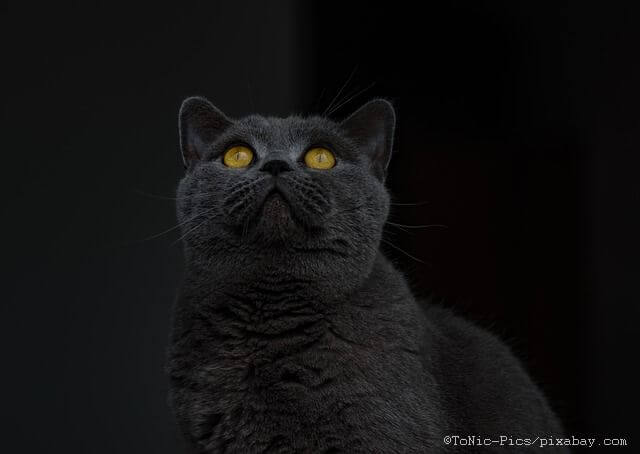 british-shorthair-1586725_640