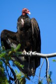 Turkey Vulture (Cathartes aura), Parksville, British Columbia.