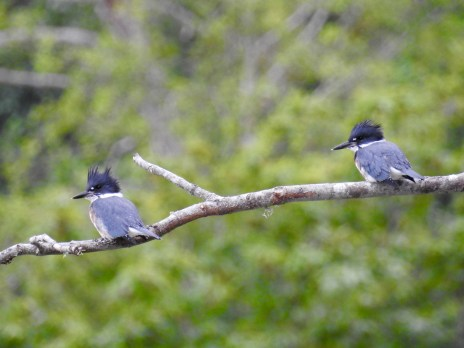 Belted Kingfishers (Megaceryle alcyon), Comox Valley, British Columbia.