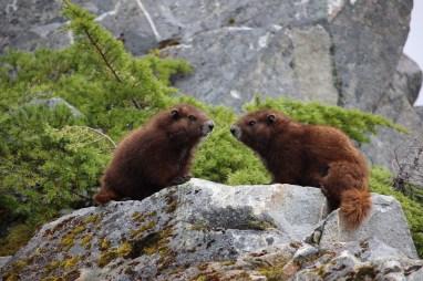 Vancouver Island Marmot (Marmota vancouverensis) yearlings.