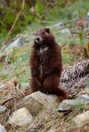 Vancouver Island Marmot (Marmota vancouverensis) yearling.