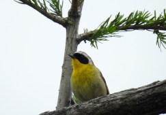 Male Common Yellowthroat (Geothlypis trichas), Comox Valley, British Columbia.