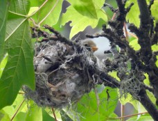 Warbling Vireo (Vireo gilvus) chick, Comox Valley, British Columbia.