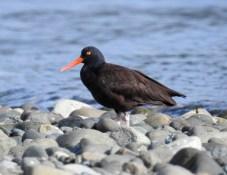 Black Oystercatcher (Haematopus bachmani), Saratoga Beach, British Columbia.