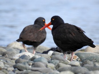 Black Oystercatchers (Haematopus bachmani), Saratoga Beach, British Columbia.