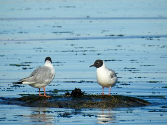 Bonaparte's Gulls (Chroicocephalus philadelphia), Comox Valley, British Columbia.