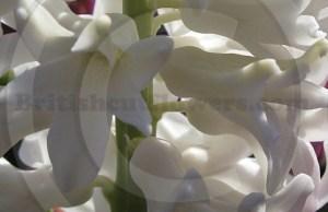 white_hyacinth