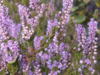 Scottish wild heather