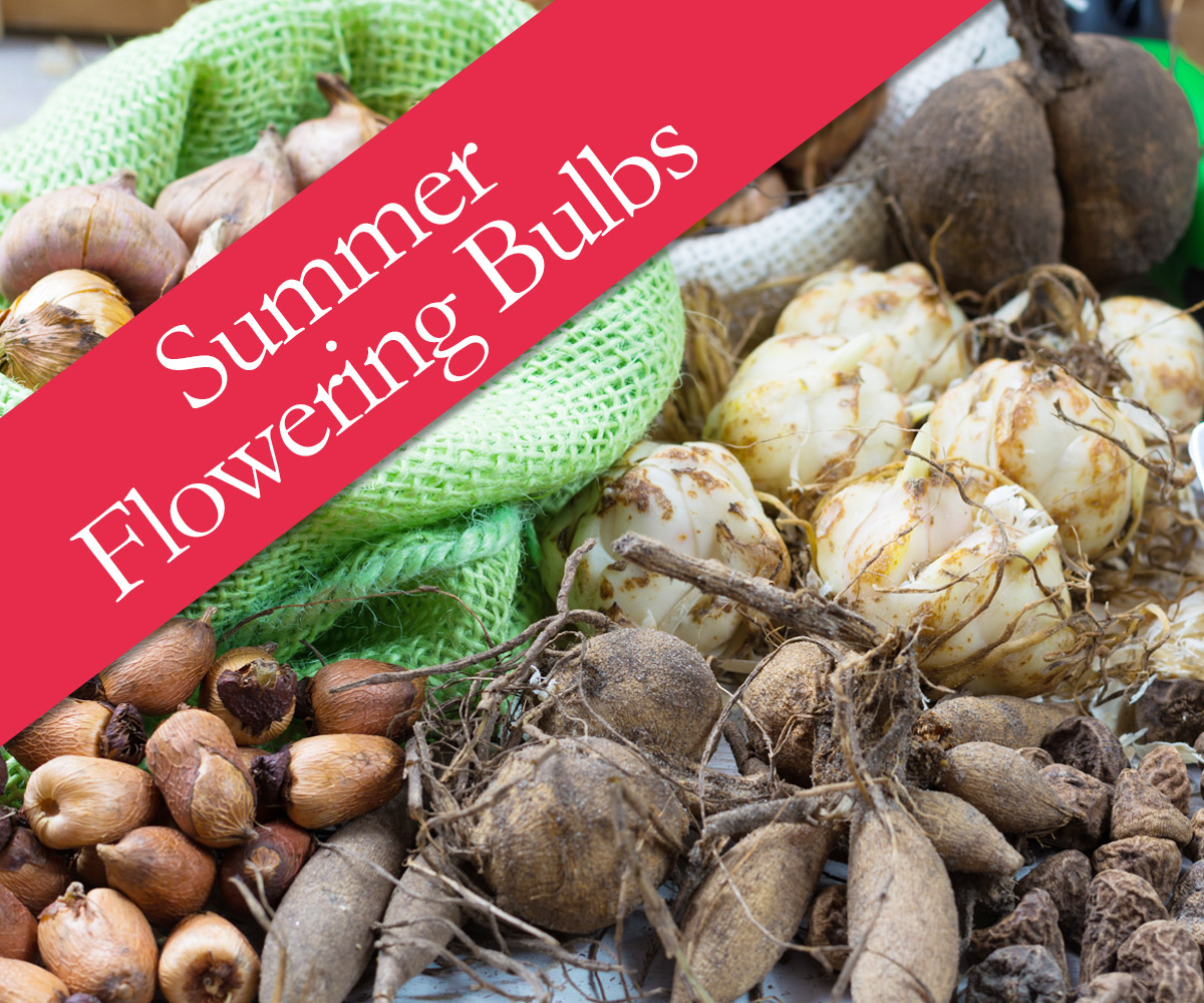 Summer flowering bulbs - buy online now