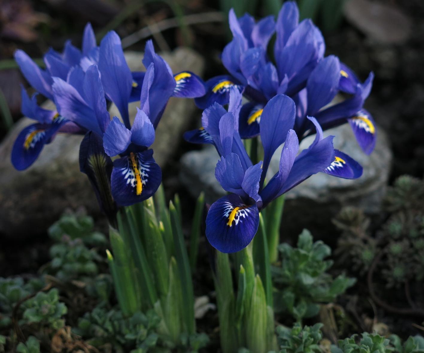 Alpine Gardens - Dwarf Iris