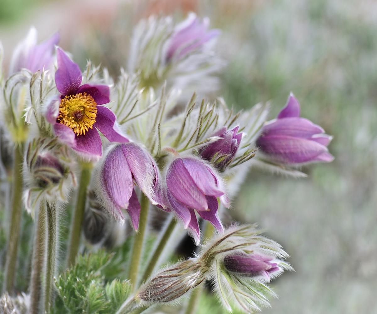 Pasqueflower