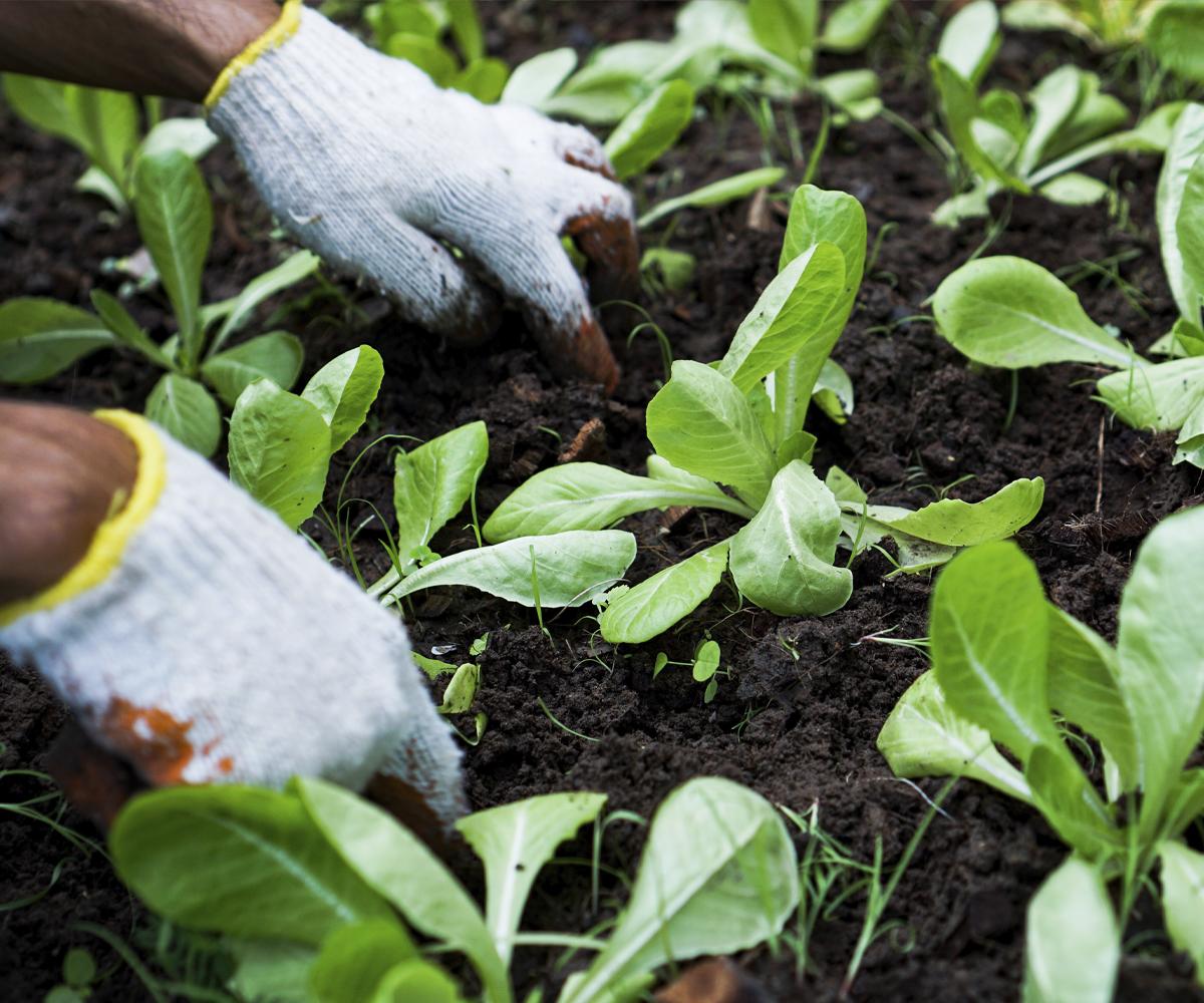Weeding vegetable plots