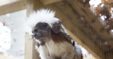 Twin baby Tamarins born at Drayton Manor Zoo
