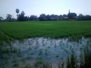 Fields and fields of rice.