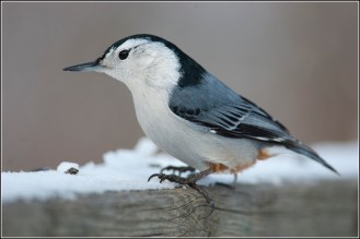 Nature: Nuthatches and other birds