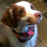 Maple's Story: A Brittany Goes Blind