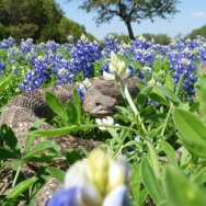 Watch for rattlesnakes lurking in Bluebonnets