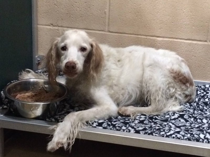 female english setter special needs brittanys brit