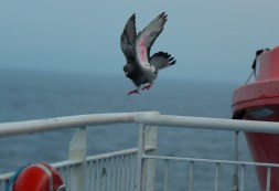 Racing pigeon trying to land on the deck railings