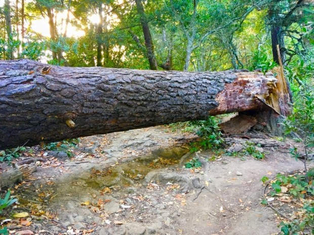Forest path blocked by large fallen tree