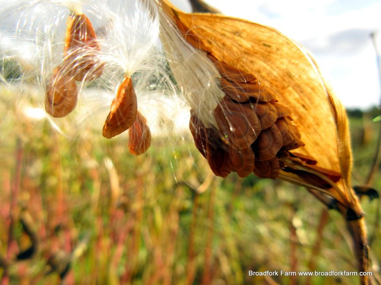 Seeds from Milkweed