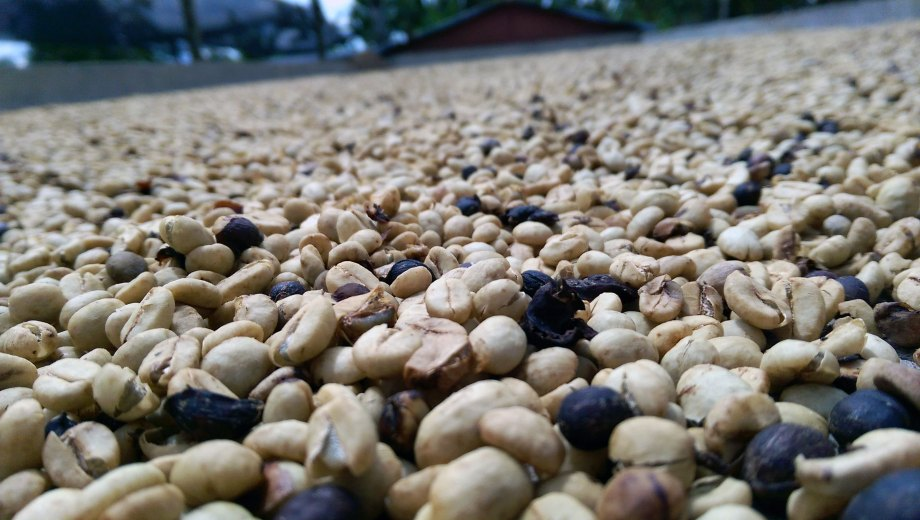 Coffee beans drying at the Hacienda Combia