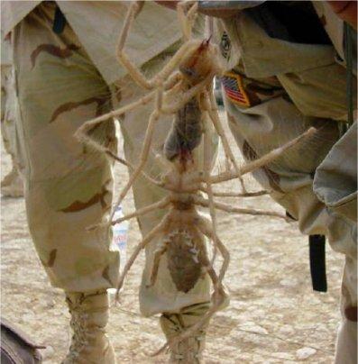 camel-spider.jpg
