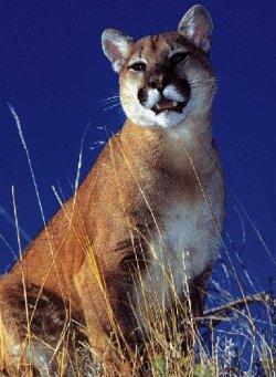 cougar250.jpg