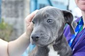 A beautiful grey pit bull puppy is carried out to a crate in a transport vehicle headed to MLAR. She will be given basic obedience training at MLAR before she is made available for adoption. Photo Credit: Matt Liptak