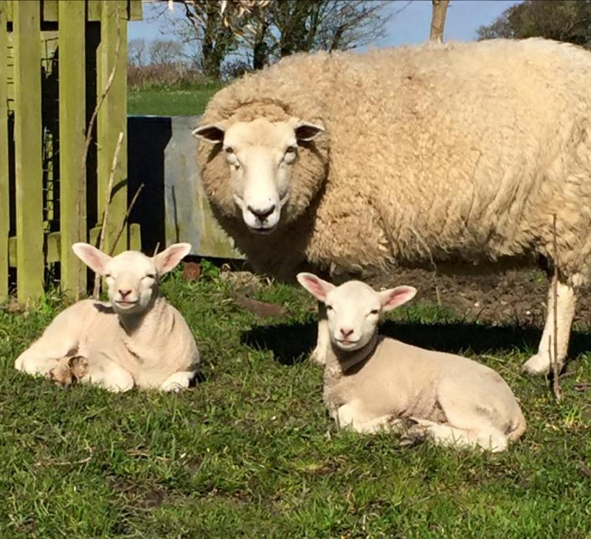 Sheep On Lewesdon Hill Attacked By Dog