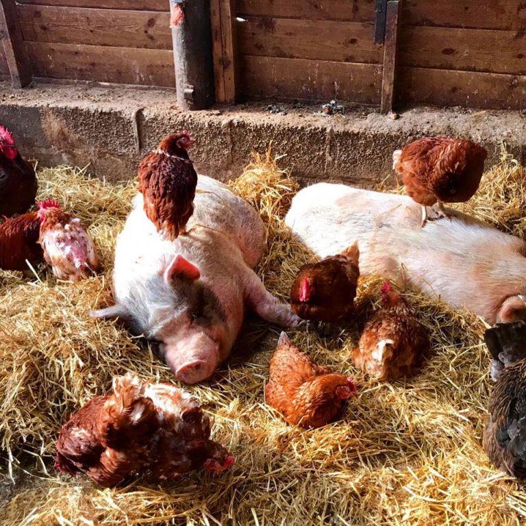 Pear Tree Farm's Chickens