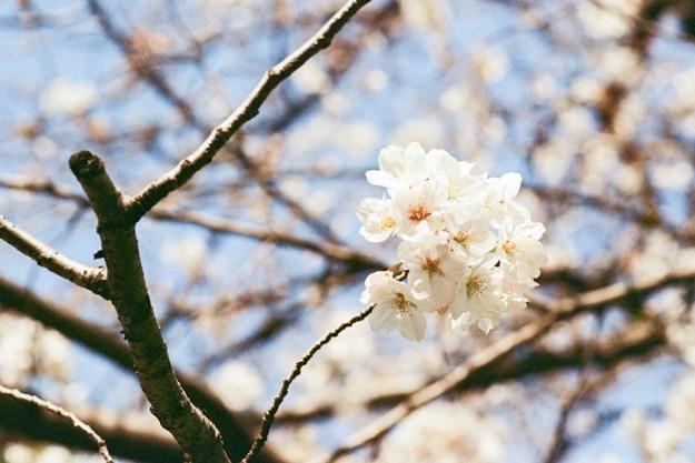 Minolta A7 / Vision3 250D 1段増感 / ECN-2 自家現像 / 桜の撮影