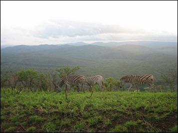Zèbres Afrique du Sud