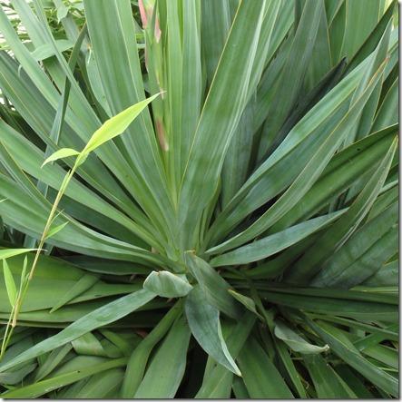 feuille de yucca