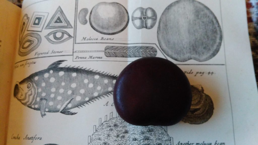 Wallace's 1693 illustration of the four kinds of Molucca Bean (sea bean), and our real one.