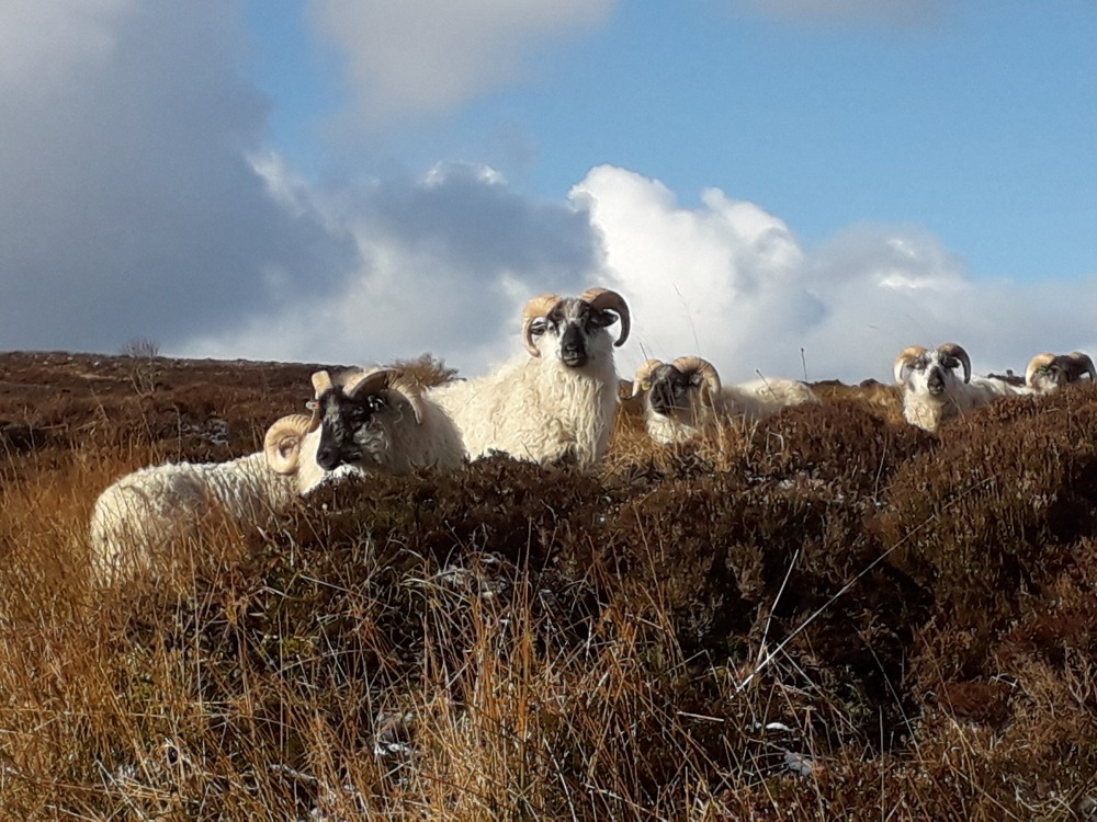 Orkney Boreray Sheep by Jane Cooper