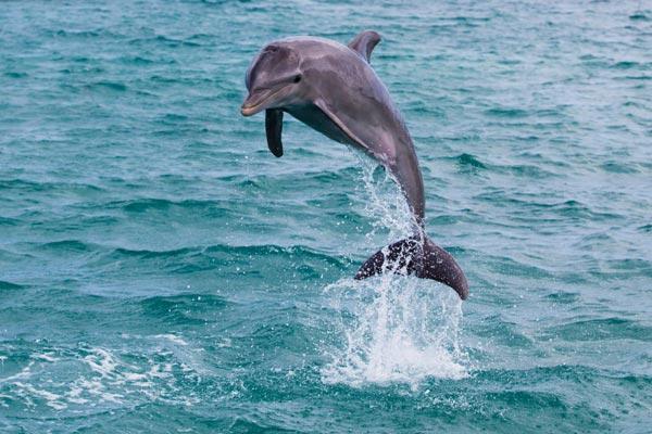 Spirit Animals:  Dolphins