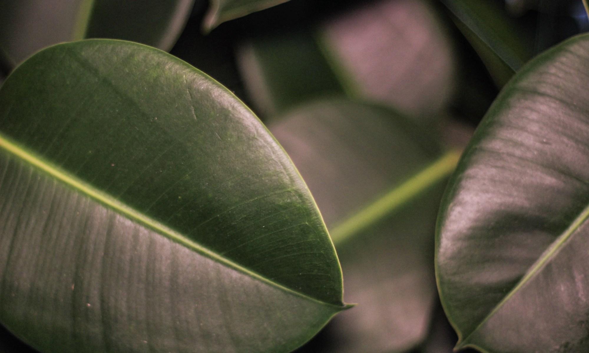 Ficus Elastica Broesse Tropisch Plantenkaffee Gent