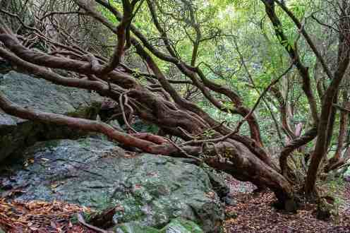 Adventure in Dublin Gnarly rhododendron in the woods in Howth Dublin Ireland