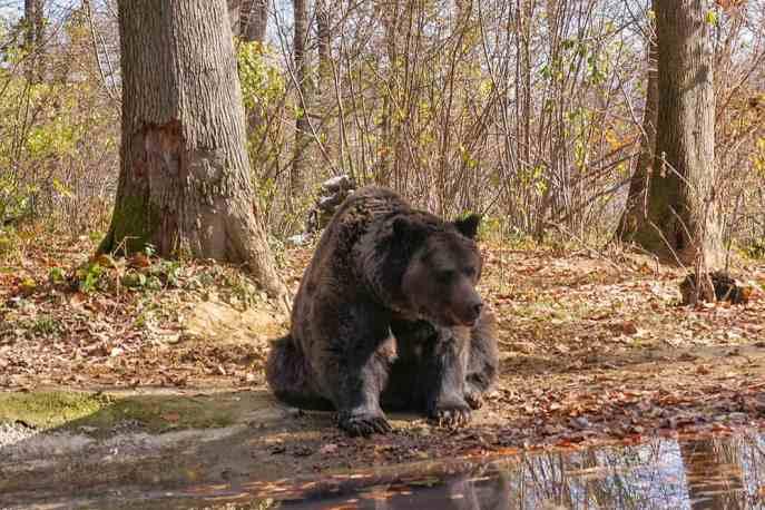 Bear by pond at Libearty Bear Sanctuary - #Romania