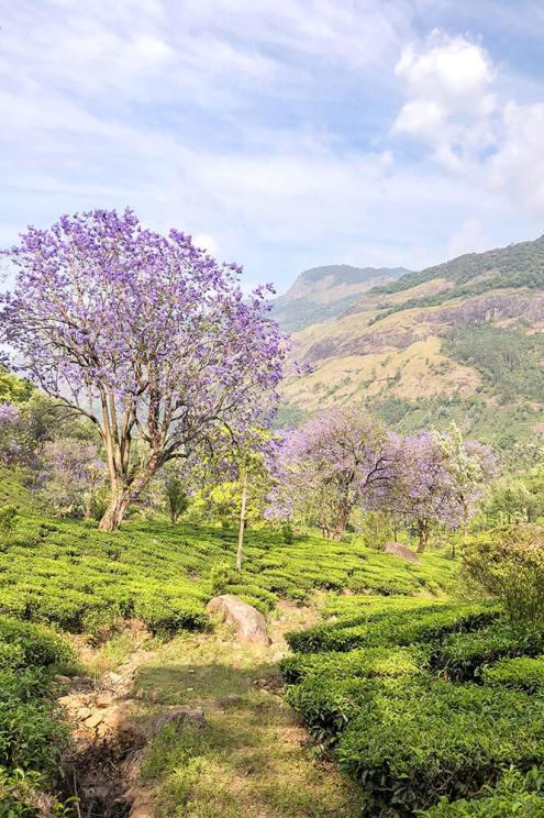 Landscape of tea plantations and jacaranda trees in bloom in Munnar, Kerala - #munnar #kerala #india