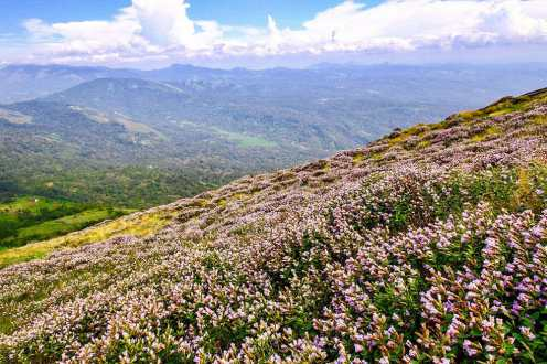 Neelajuirinji in bloom on the hills of Munnar, Kerala - #munnar #kerala #india