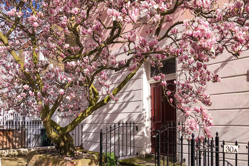 Magnolia in full bloom against a white house with brown door